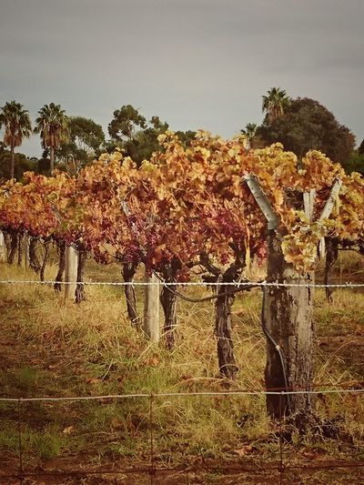sadly Fall Beauty In Nature Fall Colors Grape Vine Landscape Nature Swan Valley Winery Tranquility Wineyard