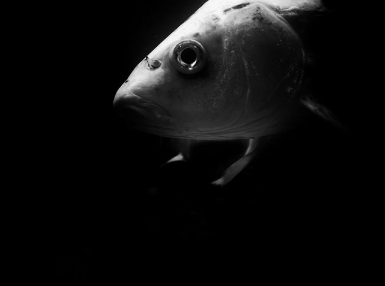 EyeEm Best Shots EyrEmNewHere Premium Collection EyeEm Selects Vertebrate Fish Animal Swimming One Animal Animal Themes Animal Wildlife Underwater Marine Sea Life Indoors  No People Black Background Close-up Animal Body Part Animals In The Wild Animal Head  Sea Water Copy Space The Creative - 2018 EyeEm Awards The Portraitist - 2018 EyeEm Awards The Still Life Photographer - 2018 EyeEm Awards EyeEmNewHere