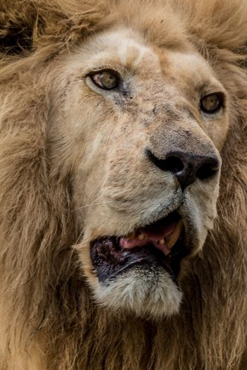Lion Lion Mammal Lion - Feline Animal Wildlife Animals In The Wild Feline One Animal Close-up Cat Portrait No People Male Animal Mouth Open