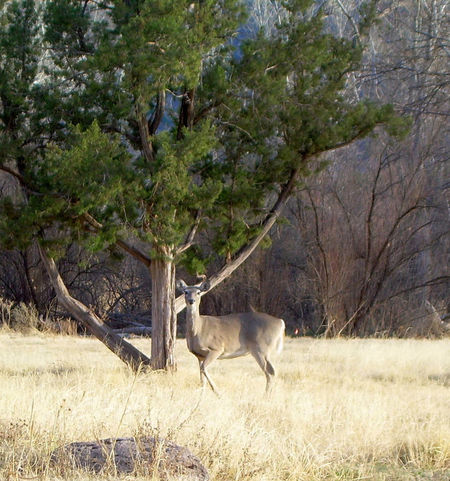 Amarillo, TX White Tailed Deer Animals Posing Wild Animal Open Field