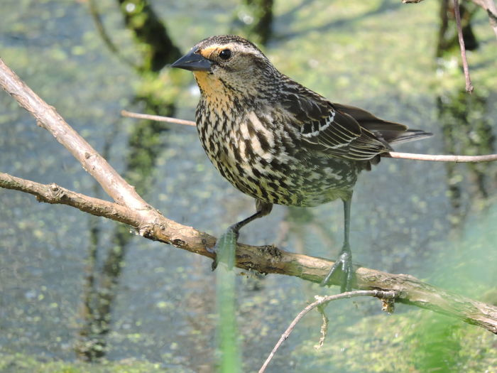 Red Winged Black Bird-female Bird Animal Wildlife One Animal Animals In The Wild Animal Themes Vertebrate Animal Perching Tree Focus On Foreground Plant Branch Day Nature No People Beauty In Nature Close-up Twig Outdoors Full Length