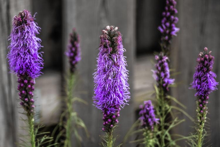 Liatris flower.