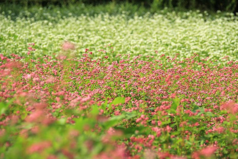 そばの花を見ると蕎麦好きだったあなたを思い浮かべます。 Nature Flower そばの花 赤と白 昭和記念公園