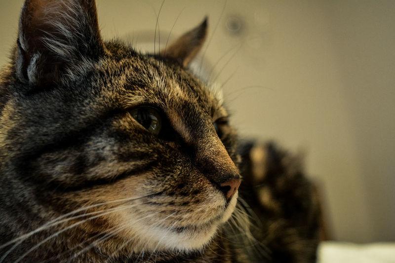 Cat Cat Head Cats Cute Cat Domestic Animals Domestic Cat Tiger Cat Whiskers
