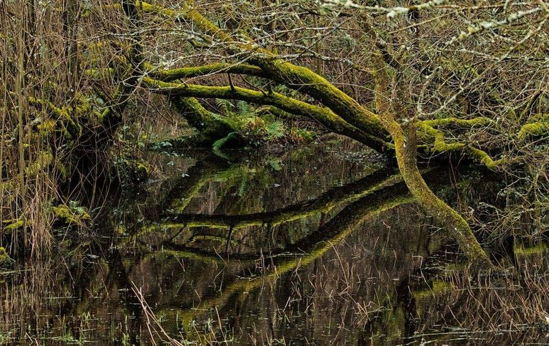 Moss covered trees Mirrorimage Shapes #colegsirgar #trees #branches #pond Backgrounds Pattern Nature Day No People Outdoors
