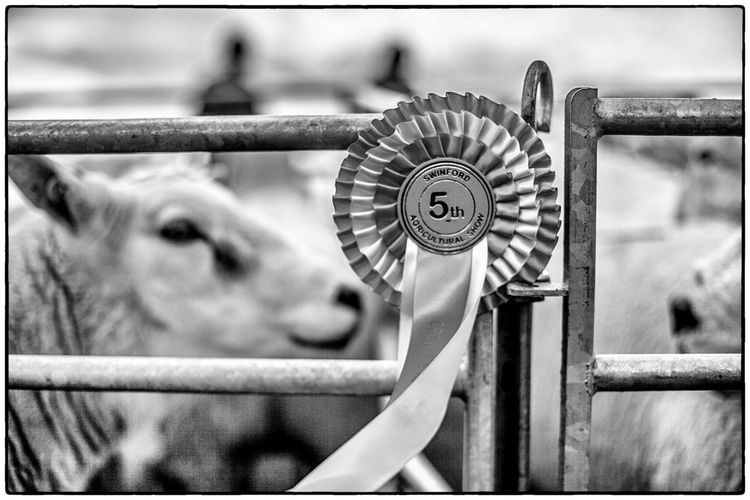 Agricultural show in Swinford, Ireland. August 2017 Livestock Ireland Agriculture Metal Railing One Animal Close-up Focus On Foreground No People Day Animal Themes