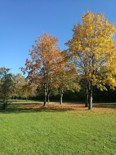 Trees on field against clear blue sky during autumn