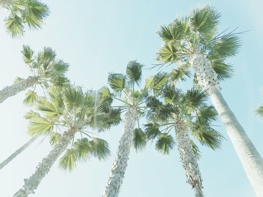 Palm Trees Tree Sky Nature No People Close-up Growth Branch Low Angle View Clear Sky Day Outdoors Adapted To The City Beauty In Nature Still Life Photography Nature Check It Out Copy Space White Space Fine Art Photograhy Meditation EyeEm Best Shots - Nature Peaceful Tranquility Pattern Design