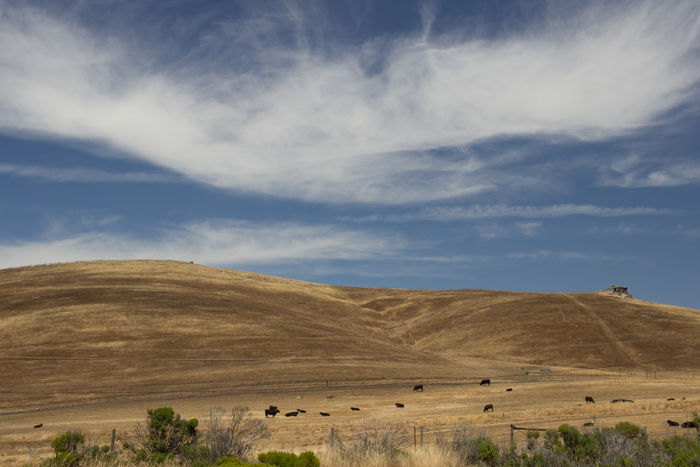 California Cattle Clouds And Sky Golden State Hills Hillside Mountains Roadside Roadtrip Rural Scene Scenics