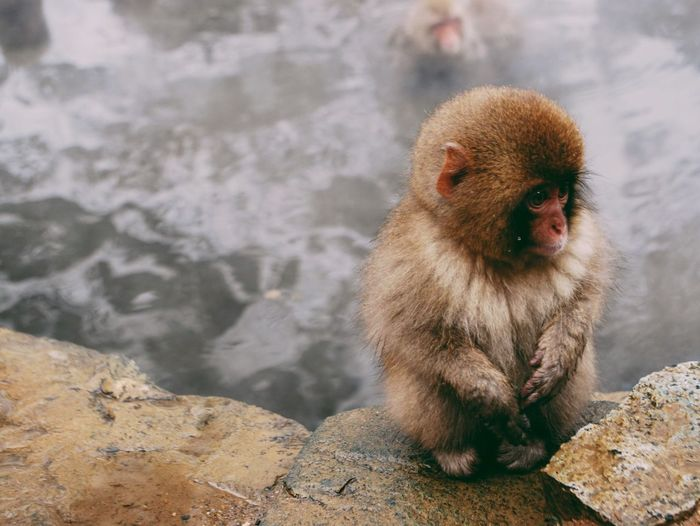 Animal Themes Animals In The Wild One Animal Monkey No People Mammal Animal Wildlife Nature Day Cold Temperature Outdoors Close-up Hotspring Vscocam VSCO Vscogood Japan Photography Japan Japanese  Snow Monkey Winter Chill Animals In The Wild Beauty In Nature Snow Pet Portraits