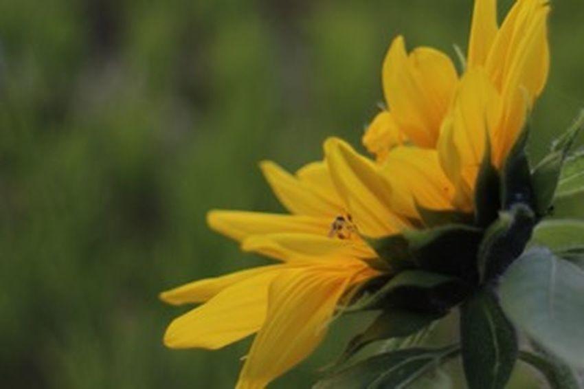 まだ咲いてたょ。向日葵。頑張ってるね(*'͜' )今日もお疲れ様でした(。•ㅅ•。) Relaxing Relaxing Flower 花 ひまわり