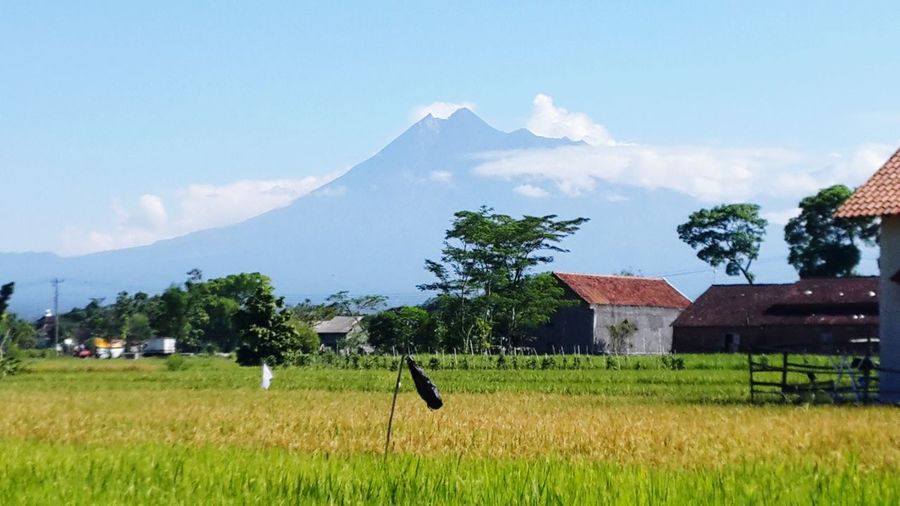 Merapi Mountain and Padi Fields in Klaten Central Java Indonesia Merapi Volcano Rice Paddy Rice Paddy Fields Village Photography Village View Nature Photography Nature_lovers Klaten Indonesia Klaten, Jawa Tengah Tree Cereal Plant Mountain Rice Paddy Rural Scene Farmer Agriculture Barn Field Irrigation Equipment Agricultural Field Village EyeEmNewHere