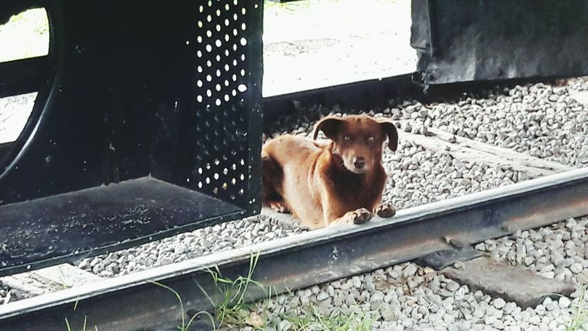 Browndog Railroad Waitinfor Resting Somewhere Cute Pets Streetdogs