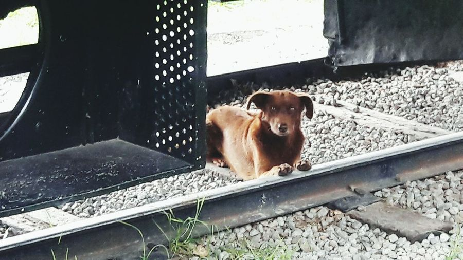 Browndog Railroad Waitinfor Resting Somewhere Cute Pets Streetdogs