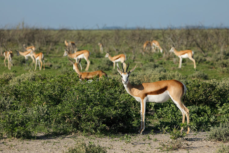 Springboks on field
