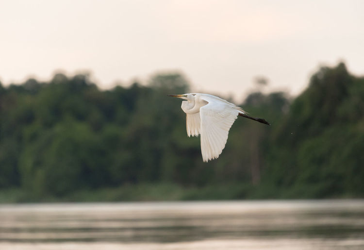 Close-up of bird flying over lake against trees