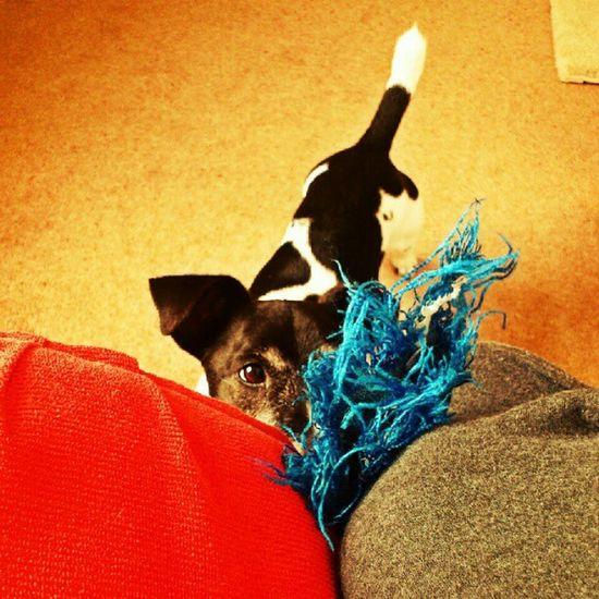 Play with me! Jackrusselterrier Jackrussell Jackrussel Ilovemydog jrt dog petsagram pets