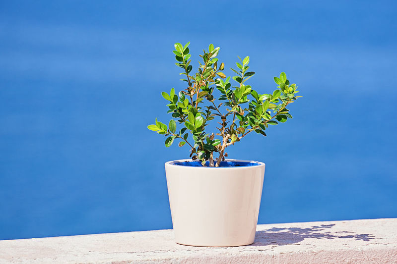 Plant Growth Blue Nature Potted Plant Plant Part Leaf Day No People Outdoors Close-up Wall - Building Feature Beauty In Nature Sunlight Green Color Freshness Focus On Foreground Wall Table Vulnerability  Flower Pot Houseplant Blank