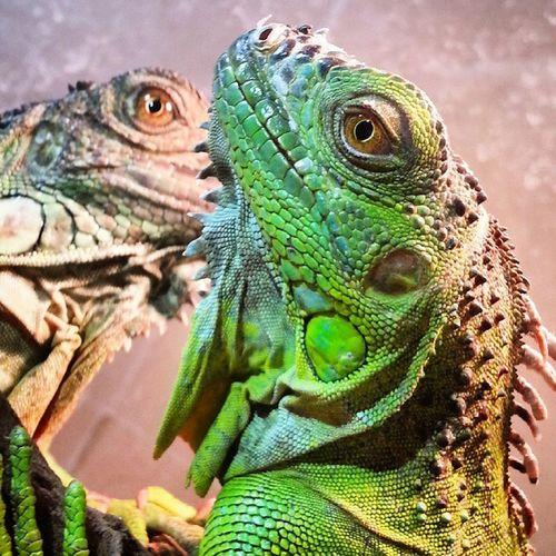 ایگوانا سوسمار هه Iguanaa