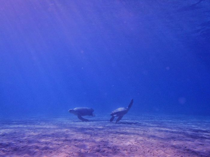 Underwater UnderSea Sea Life Blue Animals In The Wild Animal Wildlife Swimming No People Nature Sea Water Animal Themes Outdoors Beauty In Nature Day Free Diving Turtle Turtle Dance The Great Outdoors - 2017 EyeEm Awards