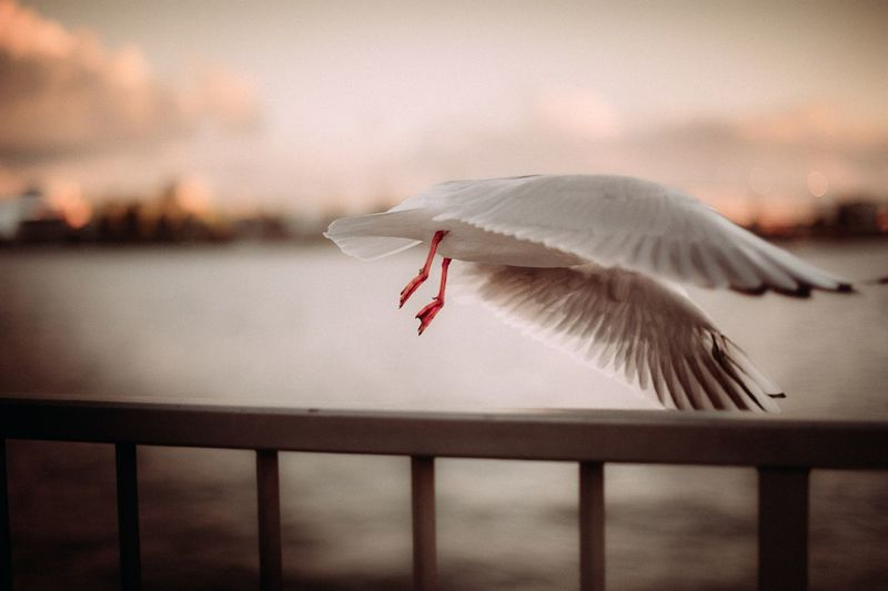 Seagull takeoff EyeEmNewHere Timeless Romantic Flying Motion Wings Seagulls Seagulls And Sea Seagull Harbor Flag Animal Themes Nature Outdoors One Animal Animals In The Wild Sea Sunset Beauty In Nature Sky Bird No People Spread Wings Animal Wildlife Water Flying