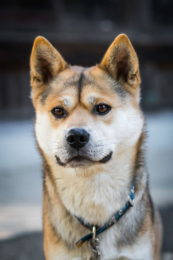 Japan Photography Akita Dogs Japanese Dog Shiba Inu Shibuya Akita Inu Animal Animal Body Part Animal Head  Animal Themes Canine Close-up Day Dog Dog Love Domestic Domestic Animals Focus On Foreground Looking Mammal No People One Animal Pet Collar Pets