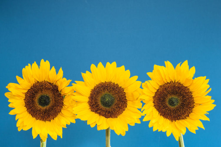 Sunflowers On