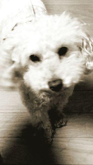 Toypoodles Pets Animal Nose