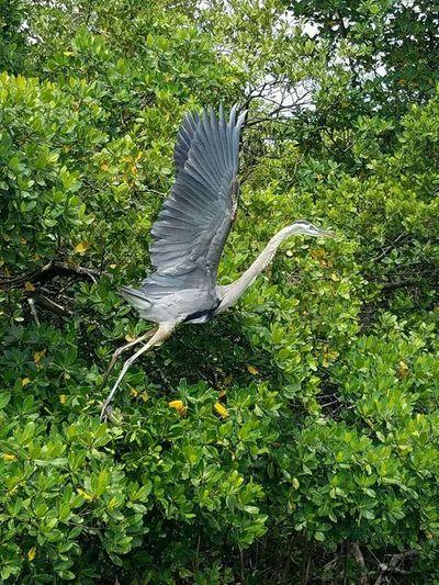 Great heron flying away Great Heron Flying Bird Fly Away In Flight Florida Nature Florida Life In The Mangrove