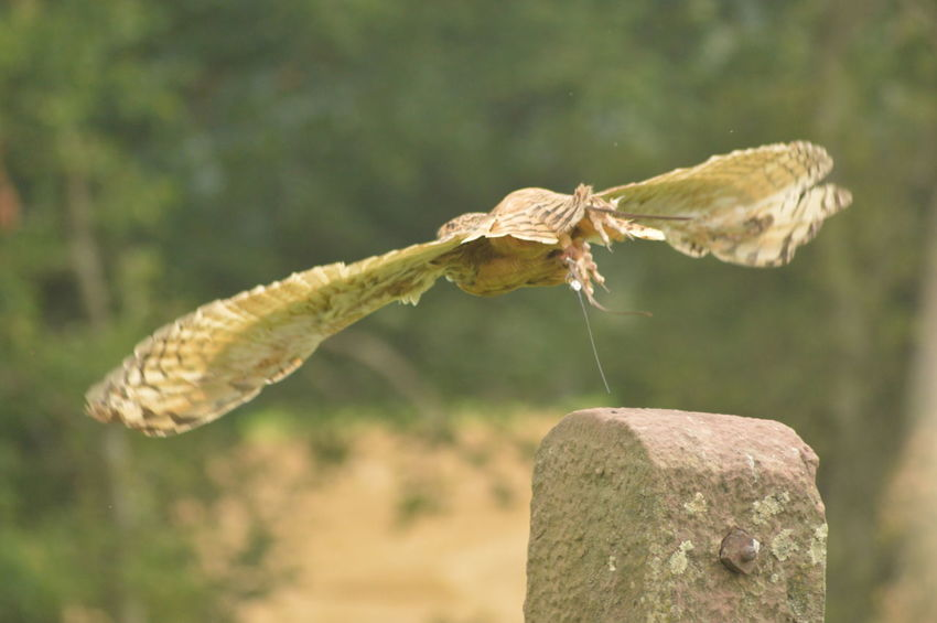 EyeEm Selects Animal Wildlife Focus On Foreground Close-up No People Nature Full Length Mid-air Motion Beauty In Nature Falconry International Centre For Birds Of Prey ICBP No Filter, No Edit, Just Photography Owl Spread Wings Bird