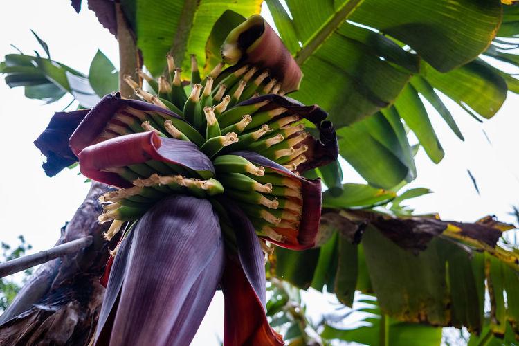 Low angle view of banana tree