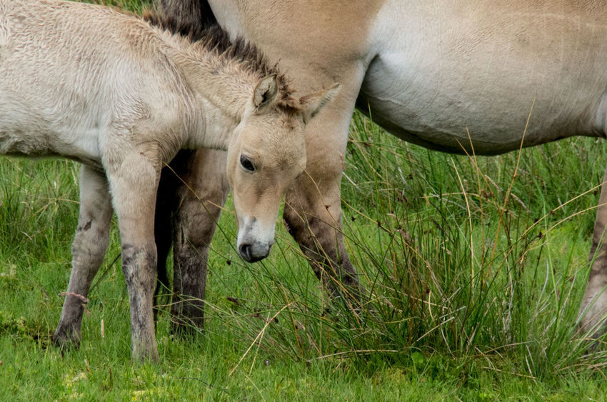The Highland Wildlife Park on a rainy day. Horses Przewalski's Horse Rain Scotland Animal Themes Animals Close-up Day Field Foal Grass Highland Wildlife Park Mammal Nature No People Outdoors Scottish Highlands Togetherness Wildlife Young Animal