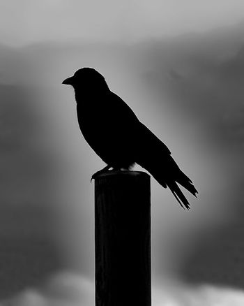 Bird One Animal Animal Wildlife Raven - Bird Perching Animals In The Wild Wooden Post Animal Themes No People Silhouette Outdoors Day Nature Full Length Close-up Mammal Sky The Week On EyeEm Blackandwhite Nature EyeEm Best Shots - Black + White Black & White EyeEm Best Shots Lumixlove Lumixlounge