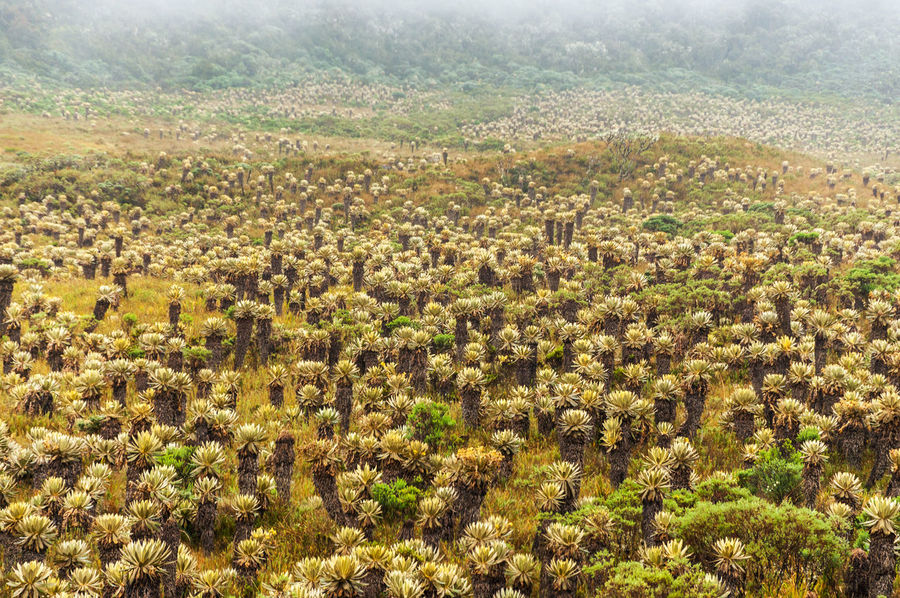 Frailejon plants in Paramo de las Delicias in Cauca, Colombia Agriculture Altitude Andes Beauty In Nature Cauca Cold Colombia Frailejon High Landscape Latin Majestic Mountain Nature Outdoors Plant Plantation Páramo Range Rural Scene Scenic Scenics Sierra Sky South America