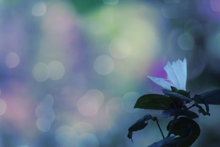 😊🌹🌹🌹🌹🌹 Silence Of Soul Lonely Flower Wishes Dreams Colorful Bokeh My World Kerala Flower Nature Leaf Beauty In Nature Outdoors Petal No People Fragility Close-up Freshness