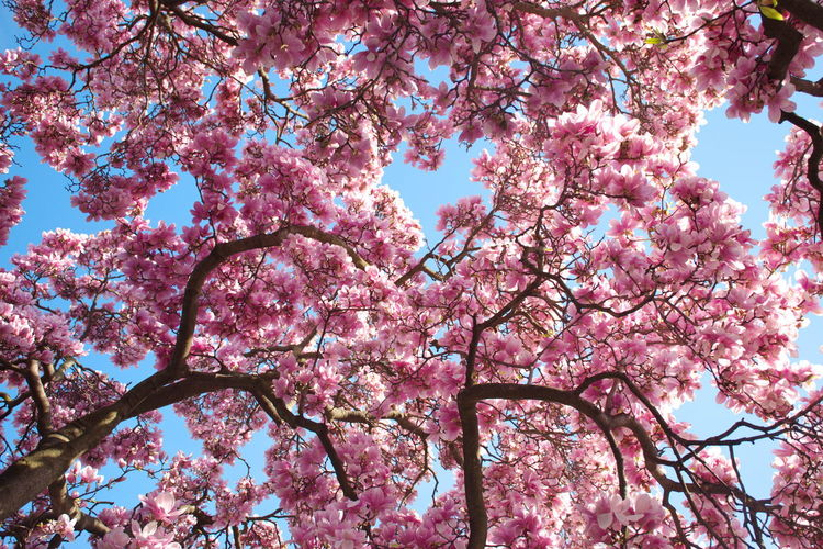 Pink Color Flowering Plant Flower Tree Blossom Branch Low Angle View Plant Springtime Fragility Beauty In Nature Freshness Nature Growth Sky Vulnerability  Day No People Outdoors Spring Magnolia Park Clear Sky Pink