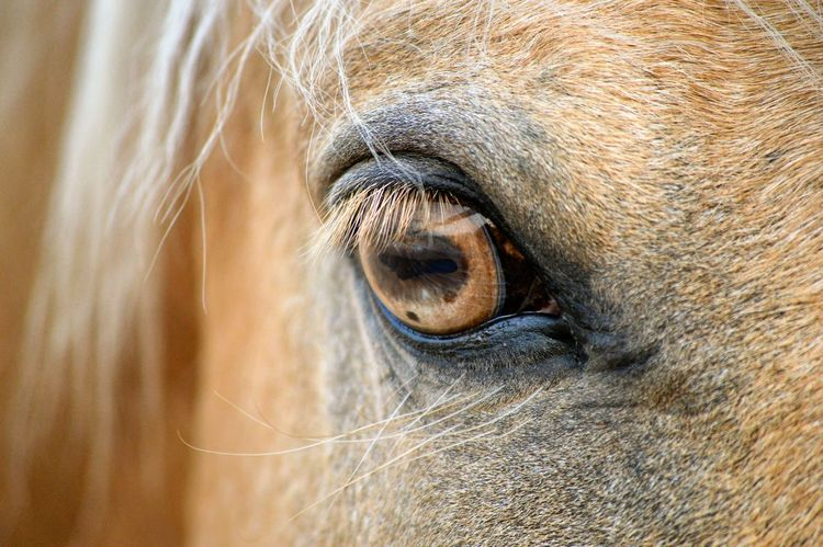 Close-up Animal Eye Horse Selective Focus Animal Hair Extreme Close Up Animal No People Looking At Camera Equine Photography Equine Nikonphotography Nikon D3200 Nikon Horse Eye Golden Eye Palomino Maximum Closeness