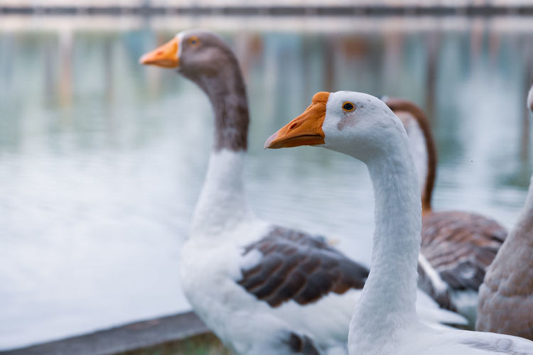 Close-up of geese against lake