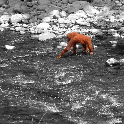 Woke up in a hostel in Sumatra  , looked out the window and saw this!!! WOW !!!!! INDONESIA Orang -utan Orangutan river