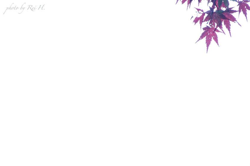 紅葉 白い空見上げて紅い星型の葉っぱを見つけた ( 2015年11月09日 撮影 )いつかやってみたかった ミニマル & 余白 です😁✨ Autumn Leaves White sky I found a scarlet star-shaped leaves can be looked up I wanted to do someday, it is minimal and margins😁✨ ( photographed November 09, 2015 ) 紅葉 葉っぱ ミニマル Maple Leaves Minimal Minimalism EyeEm Nature Lover Canon