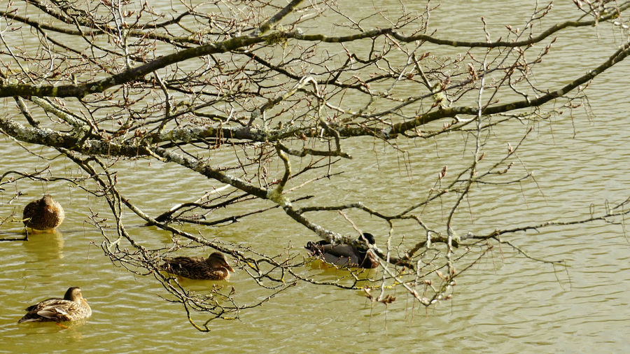 Lovely ducklings Branch Branches Ducks Lake Lake View No People Outdoors Pond Ponds Tree Twig Wildlife