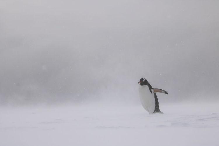 Swan on snow against sky