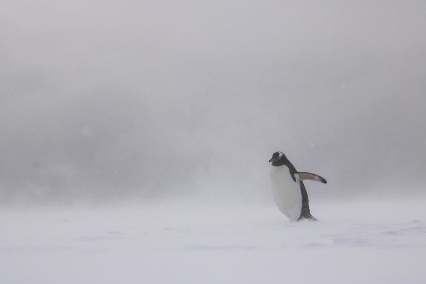 Solitary Gentoo Penguin walking through a snow storm at Yankee Harbour, South Shetland Islands in Antarctica. Antarctic Antarctica Gentoo Penguin Animal Themes Animal Wildlife Animals In The Wild Antarctic Peninsula Beauty In Nature Bird Gentoo  Nature One Animal Penguin Penguin In Antarctica Penguins In Antarctica, Pygoscelis Papua Solitude South Shetland Islands