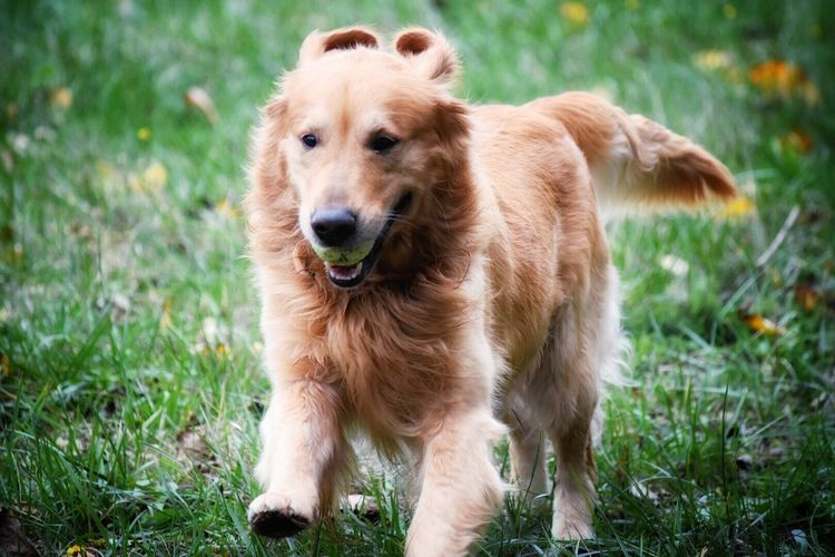 Animal Themes Mammal Looking At Camera Dog Grass One Animal Pets Domestic Animals Portrait Focus On Foreground Golden Retriever No People Outdoors Day Close-up Nature Goldenretriever Running Ball