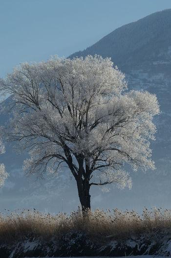 Schweiz Switzerland Wallis Leuk Baum Tree Winter Eis Kalt Cold Temperature Cold Tranquil Scene Sky Winter Trees Winter Wonderland Wintertime Schilf Reed