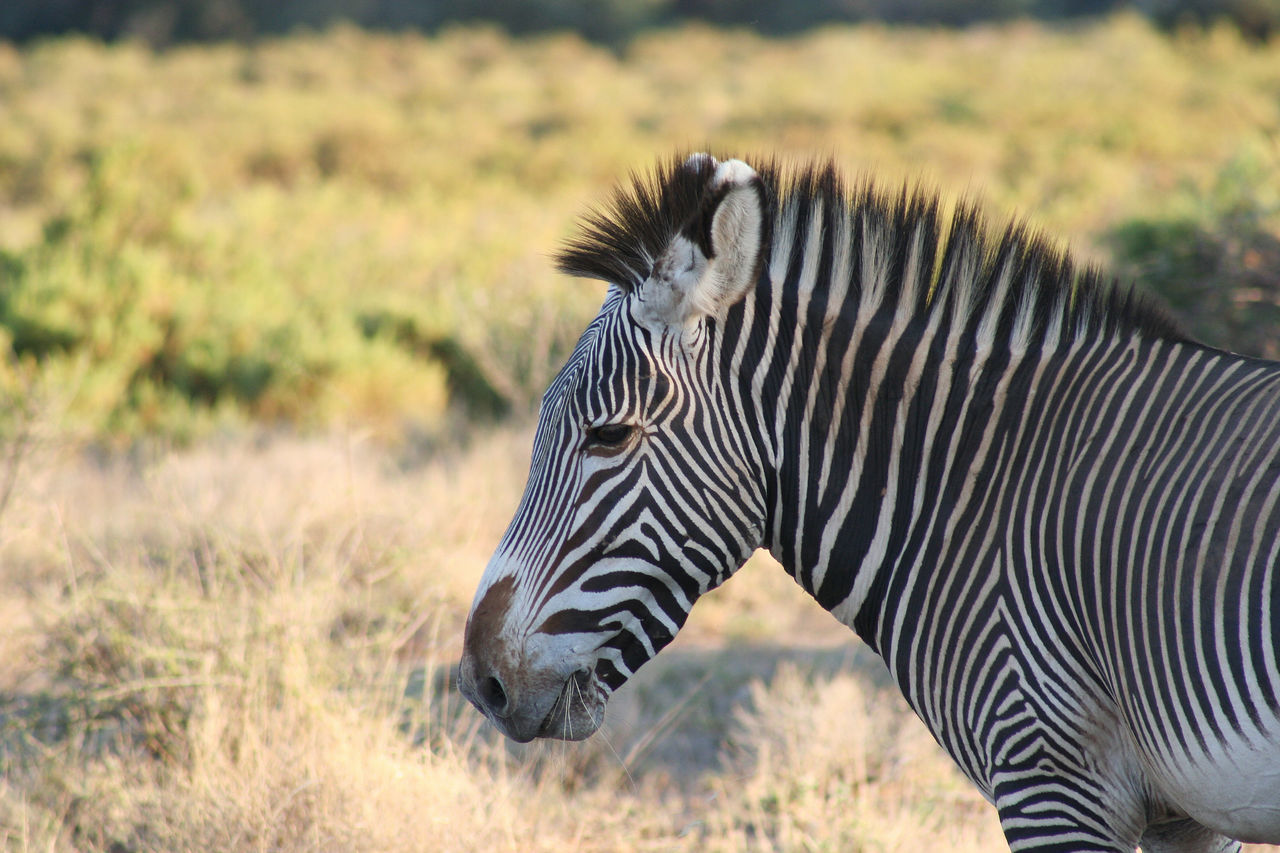 Close-Up Of Zebra Standing On Field