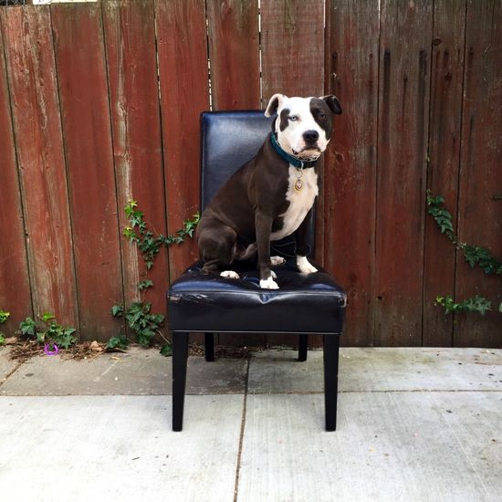 Pets Corner Spoon The Dog Chair Staffy Pitbull