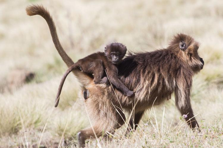 Monkeys walking on grassy field