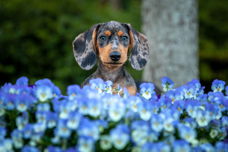 One Animal Canine Dog Domestic Pets Animal Domestic Animals Mammal No People Puppy Daschund Pet Photography  Flowering Plant Flower Selective Focus Close-up Animal Head