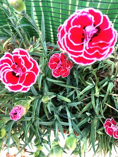 Spring Red Growth Plant Nature Petal No People Beauty In Nature Flower Day Outdoors Flower Head Freshness Close-up